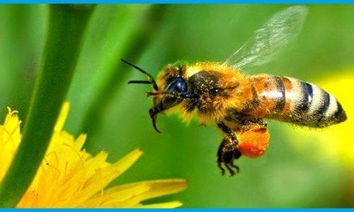 Veleno delle api, nuova cura per il cancro