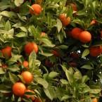 Come far maturare gli aranci